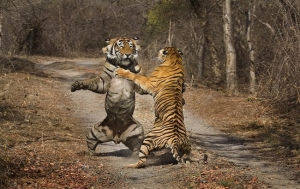 tigers-in-ranthambore