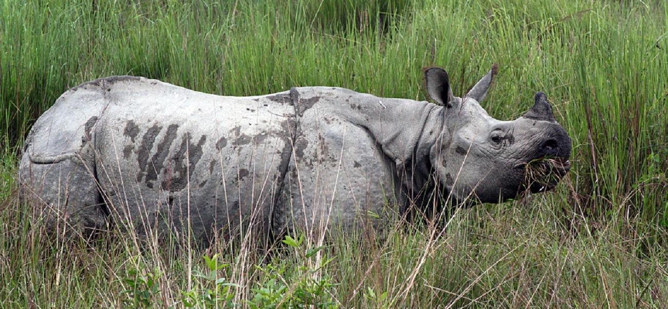 Kaziranga_Rhinoceros_unicornis