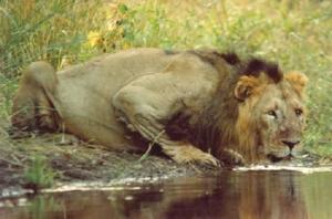 lion-of-gujarat